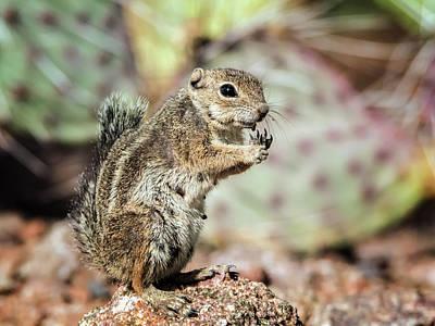Photograph - Harris' Antelope Squirrel by Tam Ryan