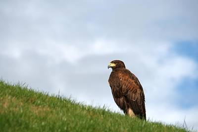 Photograph - Harris Hawk by Chris Day