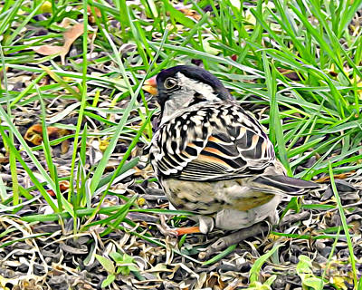 Photograph - Harris Sparrow by Kathy M Krause