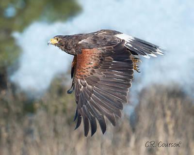 Photograph - Harris's Hawk by CR Courson