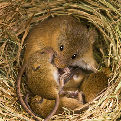 Mouse Photograph - Harvest Mouse And Pups by Jean-Louis Klein & Marie-Luce Hubert