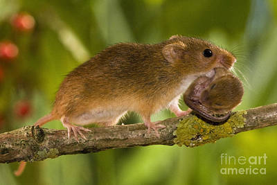 Mouse Photograph - Harvest Mouse Carrying Pup by Jean-Louis Klein & Marie-Luce Hubert