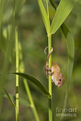 Mouse Photograph - Harvest Mouse Climbing Plant by Jean-Louis Klein & Marie-Luce Hubert