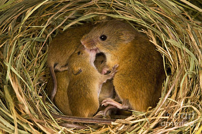 Mice Photograph - Harvest Mouse Feeding Pups by Jean-Louis Klein & Marie-Luce Hubert