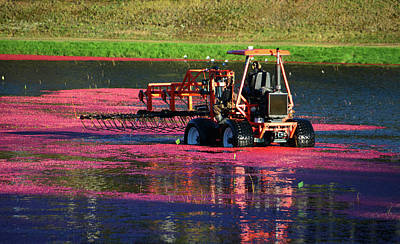 Photograph - Harvesting Cranberries by Mike Martin