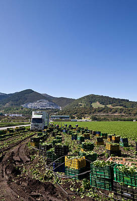 Lettuce Photograph - Harvesting Lettuce Near Ventas De by Panoramic Images