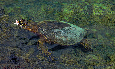 Photograph - Hawaiian Sea Turtle 2 by Pamela Walton