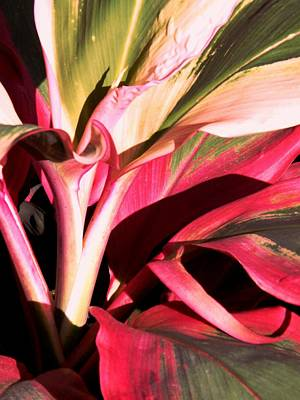 Cordyline Terminalis Electra Ti  Art Print by Barrington Binger