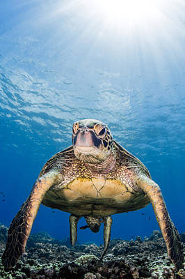 Photograph - Hawaiian Turtle by J Gregory Sherman
