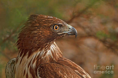 Wildlife Photograph - Hawk Close Encounter Profile by Beth Sargent