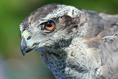 Photograph - Hawk Eye by David Stasiak