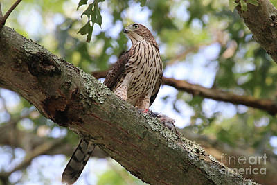 Photograph - Hawk On A Branch by Steven Spak