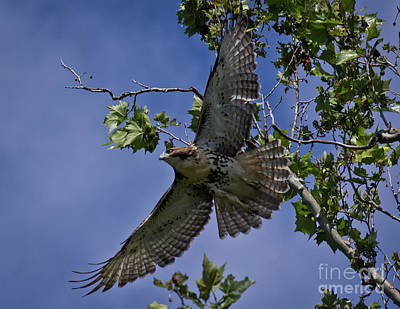 Photograph - Hawk On Norris Lake by Douglas Stucky