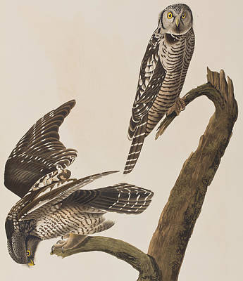 Hawk Painting - Hawk Owl by John James Audubon