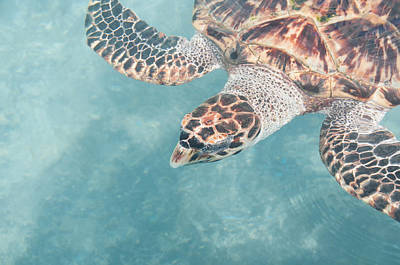 Digital Art - Hawkesbill Sea Turtles At Isla Mujeres Turtle Sanctuary by Carol Ailles