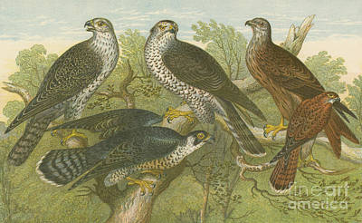 Gyr Falcon Drawing - Hawks And Falcons by English School