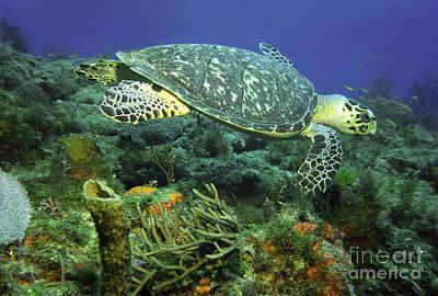 Photograph - Hawksbill Sea Turtle by Richard Nickson