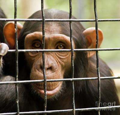 Photograph - Head Of Chimpanzee by Irina Afonskaya