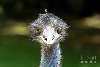 Head Of Ostrich Art Print