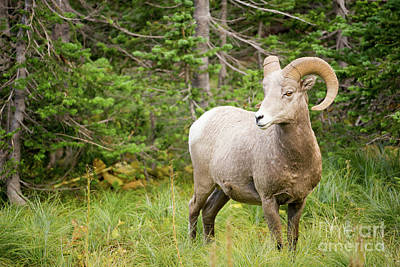 Photograph - Healthy Male Ram Bighorn Sheep Wild Animal Montana Wildlife by Christopher Boswell