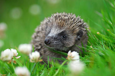 Photograph - Hedgehog by Gavin MacRae