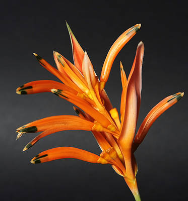 Studio Photograph - Heliconia by Lynn Berreitter