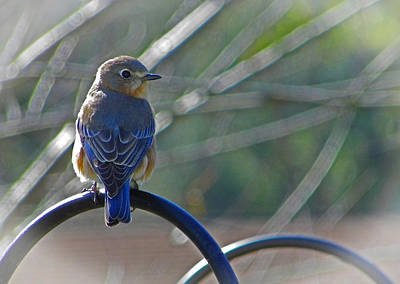 Photograph - Hello Bluebird by Judy Wanamaker