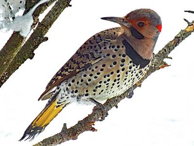 Michael Jackson - Hello Gorgeous Northern Flicker by Cindy Treger