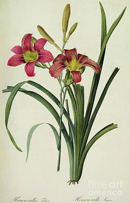 Lilies Drawing - Hemerocallis Fulva by Pierre Joseph Redoute