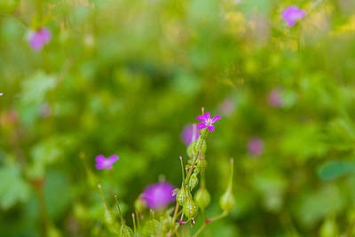Photograph - Herb Robert by Kunal Mehra