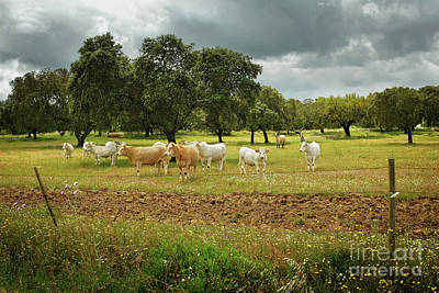 Pasture Scenes Photograph - Herd Of Cows by Carlos Caetano
