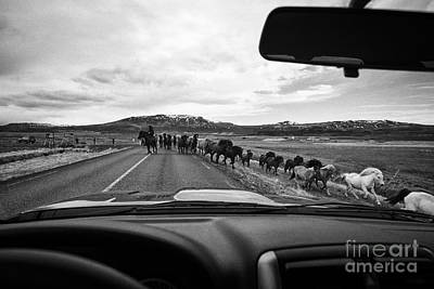 Herd Of Icelandic Horses Being Driven Across The Road Iceland Art Print