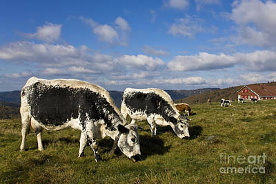 Herd Of Vosgienne Cows Art Print