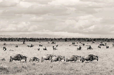 Herd Of Wildebeestes Art Print