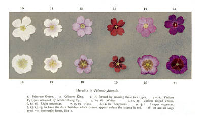 Heredity Photograph - Heredity In Primula Sinensis, Mendel by Wellcome Images