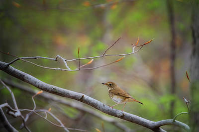Photograph - Hermit Thrush by Bill Wakeley