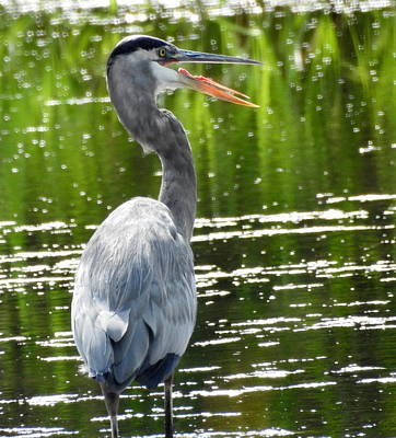 Petrie Island Photograph - Heron by Betty-Anne McDonald