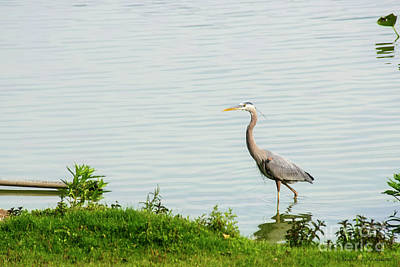 Photograph - Heron by David Arment