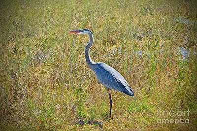 Photograph - Heron In The Marshland by Judy Kay