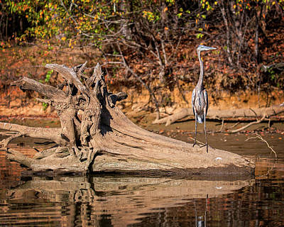 Photograph - Heron Perch by Alan Raasch