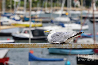 Photograph - Herring Gull by Brian Roscorla