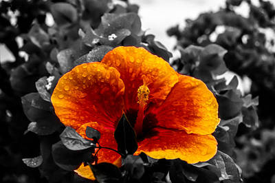 Photograph - Hibiscus Beauty by Randy Sylvia