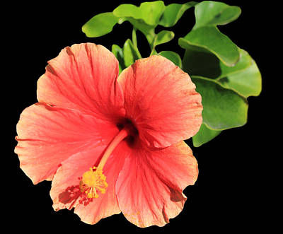 Dark Photograph - Hibiscus by Shane Bechler