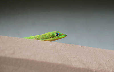 Photograph - Hiding Gecko by Pamela Walton
