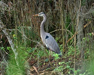 Photograph - Hiding Heron by Carol Bradley