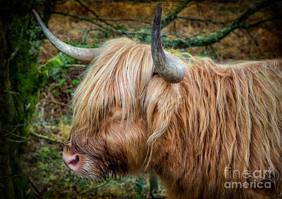 Photograph - Highland Cow by Adrian Evans
