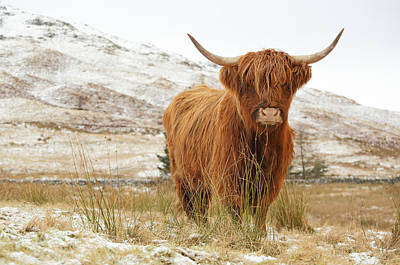 Recently Sold - Landscapes Royalty-Free and Rights-Managed Images - Highland Cow by Grant Glendinning