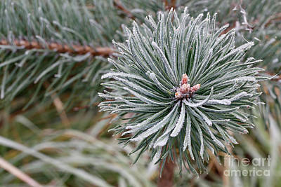 Water Droplets Sharon Johnstone - Hoarfrost on the coniferous twig by Michal Boubin