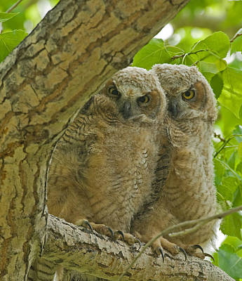 Owlets Photograph - Home In The Cottonwoods by Sandy Sisti