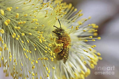 Photograph - Honey Bee On Pussy Willow Catkin  by Julia Gavin